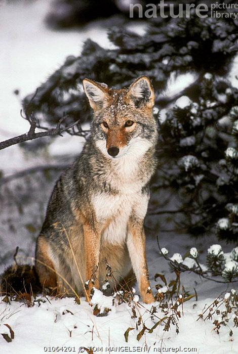 Coyote {Canis latrans} sitting in snow, Yellowstone National  Park, Wyoming, USA, CARNIVORES,PORTRAITS,WINTER,DOGS,MAMMALS,NORTH AMERICA,TREES,PLANTS,CANIDS, TOM MANGELSEN