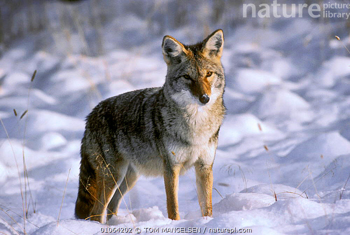 Coyote {Canis latrans} in snow, Yellowstone National Park, Wyoming, USA., VERTICAL,USA,WINTER,TREES,PORTRAITS,MAMMALS,CARNIVORES,DOGS,NORTH AMERICA,PLANTS,CANIDS, TOM MANGELSEN