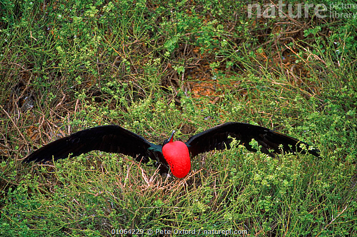 Great frigatebird {Fregeta minor} male display Tower (Genovesa) Is, Galapagos Islands Book page 69, GENOVESA,MALES,TREES,INTERESTING,THROAT,BIRDS,MATING BEHAVIOUR,COLOURFUL,HUMOROUS,(GENOVESA),DISPLAYING,OXFORD,TOWER,RED,SOUTH AMERICA,COURTSHIP,PO,HORIZONTAL,GALAPAGOS,ISLANDS,PETER,MALE,DISPLAY,SAC,WINGS,CONCEPTS,PLANTS,REPRODUCTION,COMMUNICATION, Pete Oxford