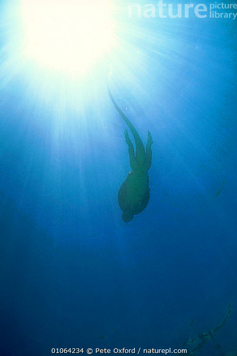 Marine iguana {Amblyrhunchus cristatus} Bartolome Is Galapag. Book page 25, ACTION,SILHOUETTES,VERTICAL,PO,SWIMMING,BARTOLOME,PETER,SEA,UNDERWATER,OXFORD,GALAPAGOS*,INTERESTING,REPTILE,SOUTH AMERICA,LIZARDS, IGUANAS, Iguanas, Iguanas, Iguanas,Catalogue1, Pete Oxford