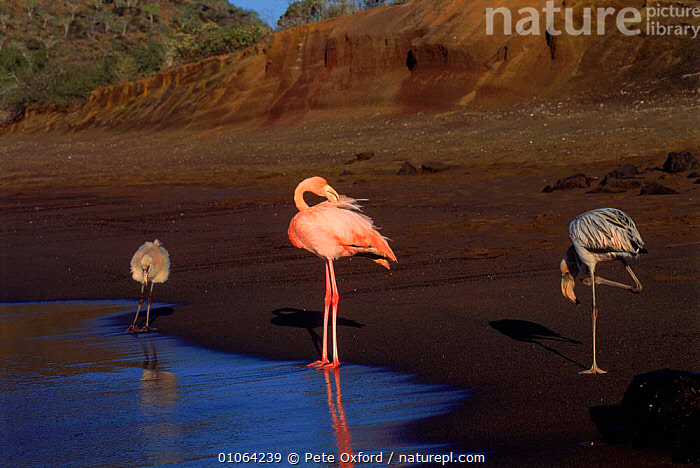 Greater flamingo adult juvenile & chick {Phoenicopterus ruber} Floreana Island, Galapagos Is Book page 22, ADULT,CHICKS,FAMILIES,INTERESTING,FLOREANA,THREE,SEA,BIRDS,PO,ISLAND,COASTAL WATERS,SOUTH AMERICA,HORIZONTAL,JUVENILE,WADING,COLOURFUL,PINK,GALAPAGOS*,,OXFORD,PETER,BEACHES,3,CHICK, Pete Oxford