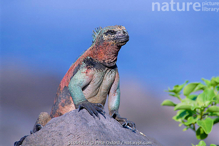 Marine iguana {Amblyrhynchus cristatus} male in breeding colours Espanola/Hood Is, Galapagos Is, IGUANAS,COLOUR,GALAPAGOS,HORIZONTAL,LIZARDS,MALES,MATING BEHAVIOUR,NB,ONE,PO,PORTRAITS,REPRODUCTION,REPTILES, Iguanas, Pete Oxford