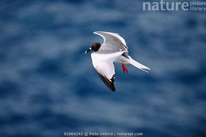 Swallow-tailed seagull {Creagrus furcatus} in flight above sea, South Plaza Is, Galapagos, BIRDS,FLIGHT,FLYING,GALAPAGOS,GULL,HORIZONTAL,PO,SEABIRDS,SEAGULLS,WINGS,GULLS, Pete Oxford