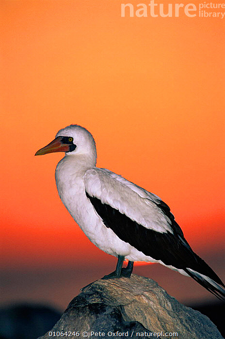 Masked booby at sunset {Sula dactylatra melanops} Espanola/Hood Is, Galapagos Book page 125  ,  COLOURFUL,BEACHES,COASTS,PETER,ESPANOLA/HOOD,SUNSET,PO,OXFORD,GALAPAGOS*,EVENING,SOUTH AMERICA,SEABIRDS,BIRDS,ROCKS,PORTRAITS,VERTICAL  ,  Pete Oxford
