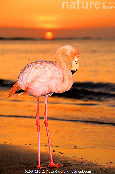 Greater flamingo at sunset on beach {Phoenicopterus ruber} Floreana Island Galapagos Is Book page 92, OUTSTANDING,PROFILE,PO,BIRDS,PORTRAITS,VERTICAL,BEACH,ISLAND,WADING,GALAPAGOS,SUN,COASTS,OXFORD,SUNSET,FLOREANA,PETER,SKY,SOUTH AMERICA,COASTAL WATERS,SAND,SEA,BEACHES,COLOURFUL,PINK,Catalogue1, Pete Oxford