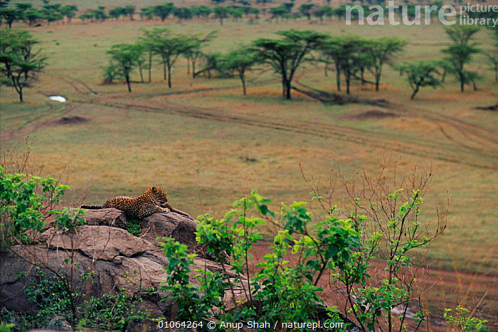 Landscape with leopard on lookout rock{Panthera pardus}, Masai Mara Game Reserve, Kenya, EAST AFRICA,FAMILIES,AS,HORIZONTAL,SHAH,BIG CATS,RESERVE,SAVANNA,LANDSCAPES,TRACKS,CARNIVORES,KOPJES,MAMMALS,TREES,ACACIA,ROCKS,GRASSLAND,LEOPARDS,Africa,Plants, Anup Shah