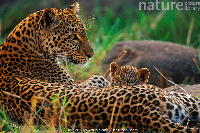 Leopard suckling cub {Panthera pardus}, Masai Mara Game Reserve, Kenya, CUTE,PARENTAL,SPOTS,SUCKLING,FAMILIES,FEMALES,GAME,SAVANNA,MOTHER,CARNIVORES,MAMMALS,RESTING,EAST AFRICA,SUCKLES,LEOPARDS,BIG CATS,Africa,Grassland, Anup Shah