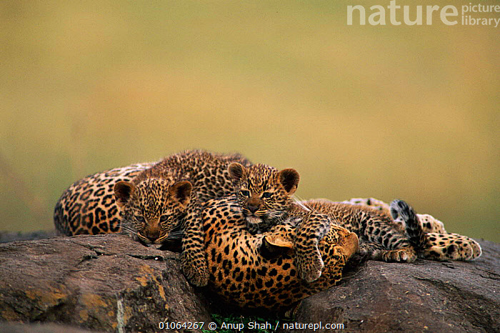 Leopard resting with cubs {Panthera pardus}, Masai Mara Game Reserve, Kenya, FAMILIES,KENYA,PARENTAL,MOTHER,PLAYFUL,BABIES,CUTE,OUTSTANDING,JUVENILE,MAMMALS,YOUNG,CARNIVORES,EAST AFRICA,RESTING,LEOPARDS,BIG CATS,Africa, Anup Shah
