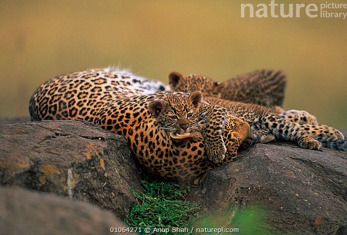 Leopard resting on rock with cubs {Panthera pardus}, Masai Mara Game Reserve, Kenya, CARNIVORES,SPOTS,CUTE,RESERVE,MOTHER,PARENTAL,GAME,AS,BABIES,YOUNG,FAMILIES,PLAYFUL,SAVANNA,MAMMALS,JUVENILE,PEACEFUL,CONCEPTS,LEOPARDS,BIG CATS,Grassland, Anup Shah
