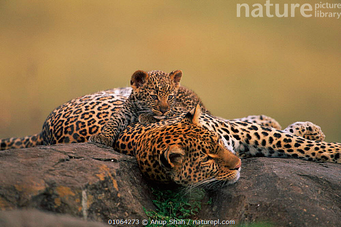Leopard {Panthera pardus} female resting on rock with cub, Masai Mara Game Reserve, Kenya, East Africa  ,  AFRICA,ANUP,AS,BIG CATS,CARNIVORES,CATS,CONCEPTS,CUBS,CUTE,EAST AFRICA,FAMILIES,GAME,GRASSLAND,GROUPS,HORIZONTAL,JUVENILES,KENYA,LEOPARDS,MAMMALS,MARA,MASAI,PARENTAL,PEACEFUL,PLAYFUL,RESERVE,RESTING,ROCK,ROCKS,SAVANNA,SHAH,SPOTS,YOUNG  ,  Anup Shah