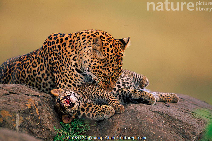 Leopard grooming cub {Panthera pardus}, Masai Mara Game Reserve, Kenya, CUB,MASAI,PEACEFUL,RESTING,,CUTE,MAMMALS,HORIZONTAL,YOUNG,AFRICA,CATS,JUVENILES,GROUPS,SAVANNA,FEMALE,HUMOROUS,FAMILIES,GROOMING,PARENTAL,EAST AFRICA,,MOTHER,RESERVE,AS,CARNIVORES,CUBS,PLAYFUL,GRASSLAND,CONCEPTS,LEOPARDS,BIG CATS,HAPPY,PLAY,Communication, Anup Shah