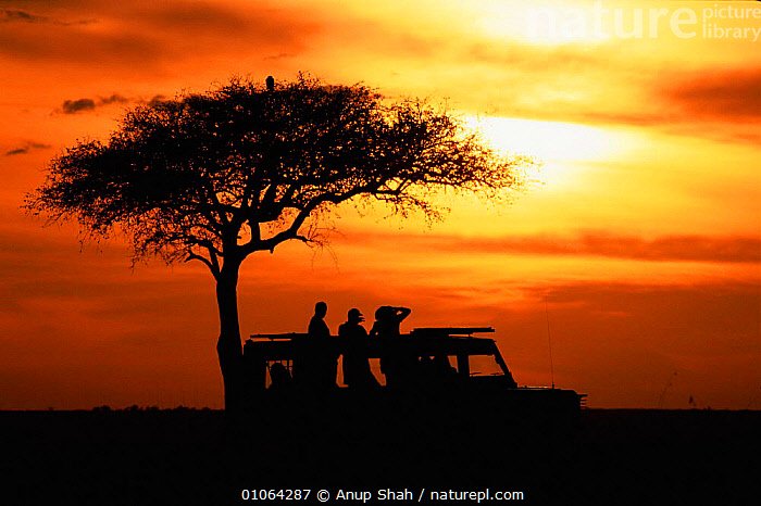 Tourists at sunset by acacia tree, Masai Mara Game Reserve, Kenya  ,  AFRICA,MARA,TREES,AS,TOURISTS,SHAH,SUNSET,TREE,SILHOUETTES,SUN,COLOURFUL,TOURISM,ACACIA,ECOTOURISM,GAME,ANUP,EVENING,MASAI,PEOPLE,SKY,HORIZONTAL,VEHICLES,RESERVE,PLANTS,EAST-AFRICA  ,  Anup Shah