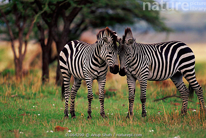 Common zebra affectionate interaction (Equus quagga) Masai Mara NR, Kenya, GRASSLANDS,GAME,TWO,KENYA,MARA,SAVANNA,RUBBING,AFFECTIONATE,PERISSODACTYLA,MASAI,AFRICA,AS,RESERVE,EAST AFRICA,HORIZONTAL,SHAH,HEADS,CUTE,ADULT,2,ANUP,STRIPES,GRASSLAND,CONCEPTS,EQUINES ,MAMMALS,PERISSODACTYLA,VERTEBRATES,EQUINES,EQUIDS,ZEBRAS,, Anup Shah