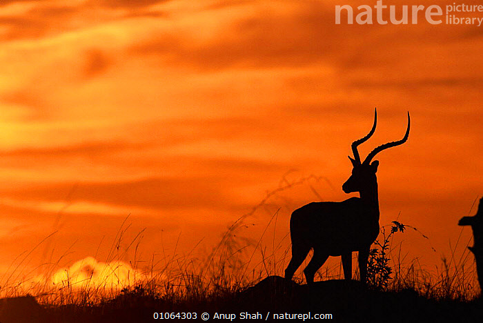 Male Impala silhouetted against sky at sunset {Aepyceros melampus} Masai Mara Game Reserve, Kenya, SUNSETS,MAMMALS,EAST AFRICA,MALE,LANDSCAPES,SAVANNA,SILHOUETTES,ARTIODACTYLA,SKIES,MALES,COLOURFUL,HORIZONTAL,RESERVE,GRASSLAND,ANTELOPES,Africa, Anup Shah