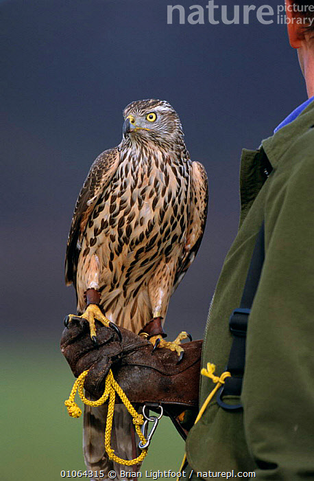 Saker falcon perched  on falconer's glove {Falco cherrug} Scotland, UK, captive, BIRDS,BIRDS OF PREY,ENDANGERED,EUROPE,FALCONRY,FALCONS,PEOPLE,SCOTLAND,UK,VERTEBRATES,VERTICAL,United Kingdom,British, Brian Lightfoot