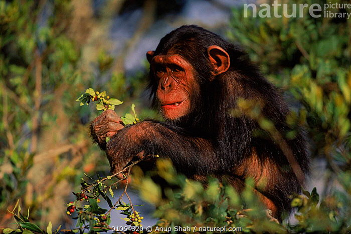 Juvenile Chimpanzee {Pan troglodytes} with leaves & berries, Sweetwater Sanctuary, Kenya  ,  KENYA,HORIZONTAL,AFRICA,FOOD,ANUP,HEADS,EAST AFRICA,MAMMALS,PRIMATES,SWEETWATER,APE,FACES,AS,HOLDING,TREES,BERRIES,JUVENILE,SANCTUARY,SHAH,LEAVES,PLANTS,GREAT APES  ,  Anup Shah