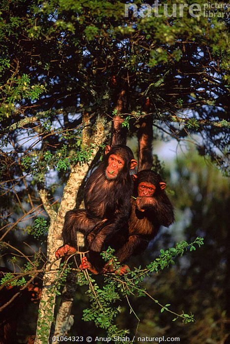 Two Chimpanzees in tree eating leaves {Pan troglodytes} Sweetwater Sanctuary, Kenya, KENYA,SHAH,AFRICA,TWO,CUTE,LEAVES,APE,EATING,VERTICAL,AS,FEEDING,MAMMALS,PRIMATES,EAST AFRICA,TREES,TREE,SANCTUARY,ANUP,SWEETWATER,PRIMATE,JUVENILE,PLANTS,GREAT APES, Anup Shah