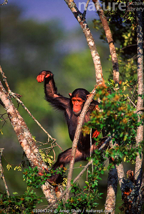 Young chimpanzee {Pan troglodytes} in tree Sweetwater Sanctuary, Kenya, PLAYFUL,PRIMATES,SANCTUARY,UP,ANUP,APE,AS,CUTE,TREE,TREES,JUVENILE,VERTICAL,AFRICA,EAST AFRICA,PRIMATE,YOUNG,SHAH,SWEETWATER,FACES,KENYA,MAMMALS,PLANTS,GREAT APES, Anup Shah