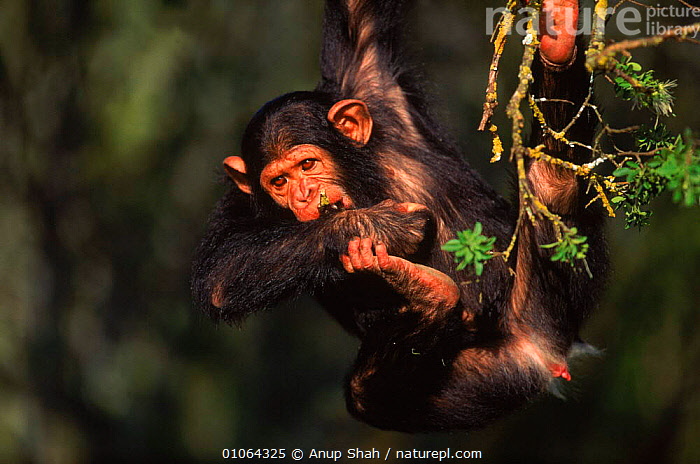 Chimpanzee {Pan troglodytes} swinging on branch Sweetwater Sanctuary, Kenya, APE,PRIMATES,YOUNG,EAST AFRICA,MAMMALS,SHAH,SANCTUARY,TREES,AS,KENYA,SWEETWATER,SWINGING,ANUP,JUVENILE,AFRICA,FACES,LEAVES,MOUTHS,PLAYFUL,PRIMATE,PLANTS,GREAT APES, Anup Shah
