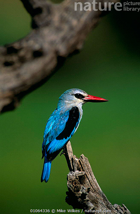 Woodland kingfisher {Halcyon senegalensis} Masai Mara NR, Kenya, AFRICA,BIRDS,EAST AFRICA,KINGFISHERS,PORTRAITS,RESERVE,RIVERS,VERTEBRATES,VERTICAL, Mike Wilkes