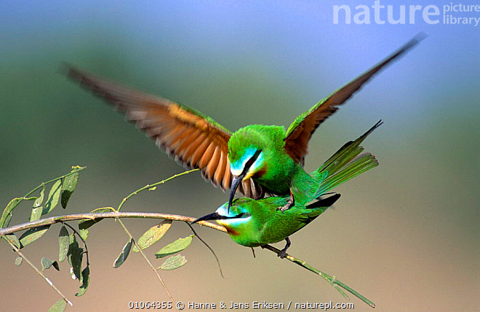 Blue cheeked bee eaters mating {Merops superciliosus} Hafeet, Oman, ACTION,ARABIA,BEE EATERS,BIRDS,BLUE,COPULATION,HORIZONTAL,MALE FEMALE PAIR,VERTEBRATES,Reproduction,Catalogue1, Hanne & Jens Eriksen