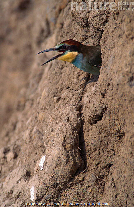 European bee eater {Merops apiaster} emerging from nest hole, France, BEE EATERS,BIRDS,EMERGING,EUROPE,FRANCE,HEADS,NESTS,VERTEBRATES,VOCALISATION, Jean E. Roche