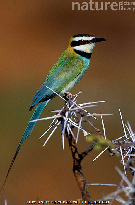 White throated bee eater {Merops albicollis} Samburu NR, Kenya, AFRICA,BEE EATERS,BIRDS,EAST AFRICA,PORTRAITS,RESERVE,THORNS,VERTEBRATES,VERTICAL,WHITE, Peter Blackwell