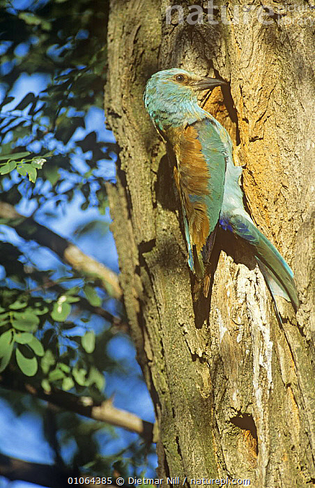 Common roller (Coracias garrulus) on tree trunk at nest hole, Hungary  ,  BIRDS,EUROPE,HUNGARY,NESTS,ROLLERS,TREES,TRUNKS,VERTEBRATES,VERTICAL,PLANTS  ,  Dietmar Nill