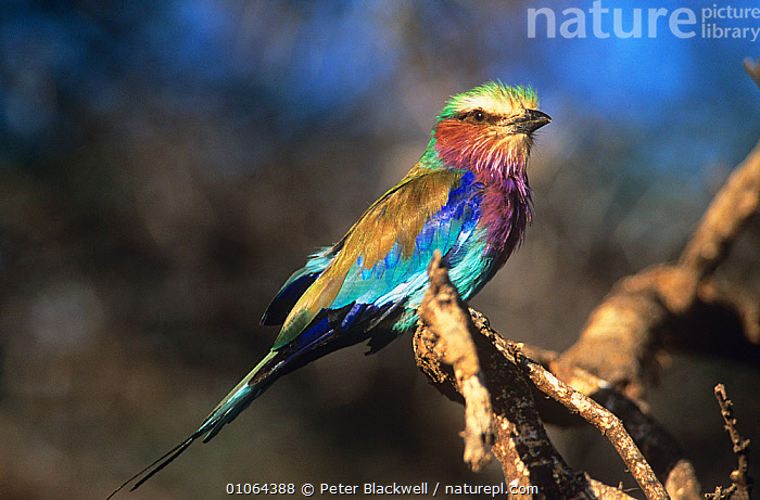 Lilac breasted roller {Coracias caudatus} perched, Masai Mara GR, Kenya, AFRICA, BIRDS, COLOURFUL, Coraciidae, EAST-AFRICA, PORTRAITS, RESERVE, ROLLERS, VERTEBRATES, Peter Blackwell