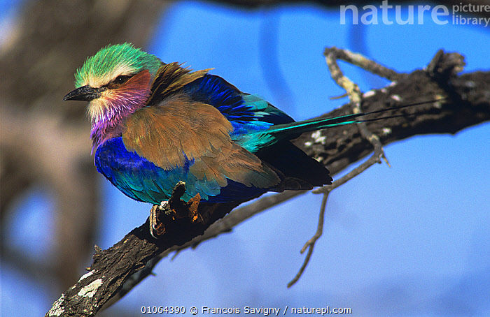 Lilac breasted roller {Coracias caudatus} with feathers fluffed up to keep warm, Kruger NP, South Africa, AFRICA, BEHAVIOUR, BIRDS, BLUE, COLOURFUL, Coraciidae, HORIZONTAL, RESERVE, ROLLERS, SOUTHERN-AFRICA, THERMOREGULATION, VERTEBRATES, Francois Savigny