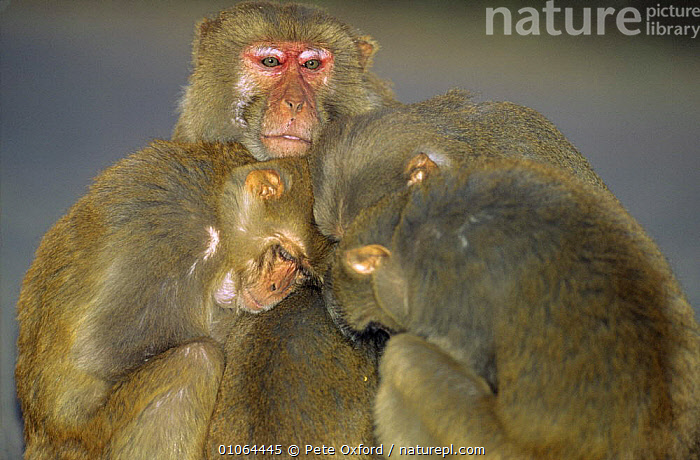 Rhesus macaques (Macaca mulatta) huddled together for warmth Keoladeo NP, India, ASIA,FOUR,GROUPS,INDIA,MACAQUES,MAMMALS,MONKEYS,NP,PRIMATES,RESERVE,THERMOREGULATION,VERTEBRATES,National Park,,UNESCO World Heritage Site,, Pete Oxford