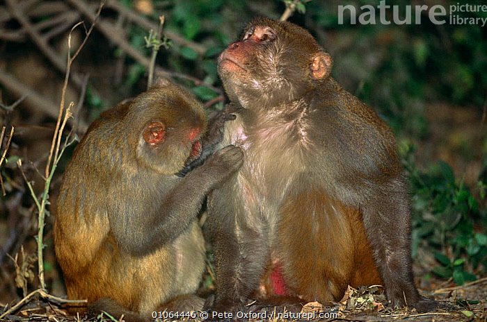 Rhesus macaques {Macaca mulatta} mutual grooming, Keoladeo NP, India, ASIA,BEHAVIOUR,india,macaque,MACAQUES,MAMMALS,MONKEYS,PRIMATES,RESERVE,VERTEBRATES,,UNESCO World Heritage Site,, Pete Oxford