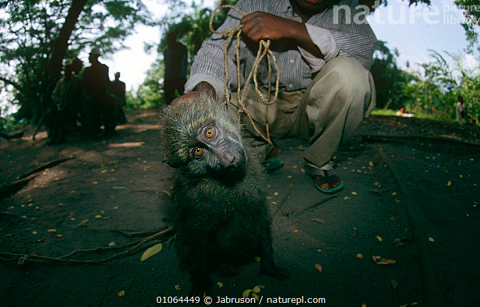 Captive young Olive baboon {Papio anubis} Virunga NP, Dem Rep Congo, AFRICA,BABOONS,CENTRAL AFRICA,CRUELTY,MAMMALS,MONKEYS,PETS,PRIMATES,RESERVE,SAD,VERTEBRATES,Concepts , Bruce Davidson, Jabruson