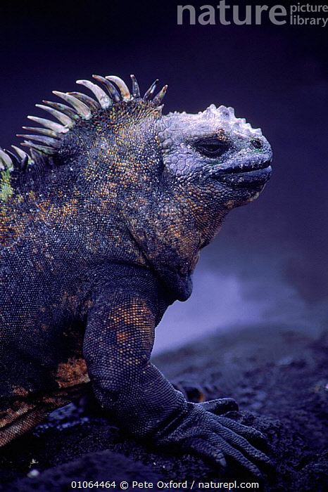 Marine iguana {Amblyrhynchus cristatus} Fernandina Is, Galapagos Islands, Ecuador  ,  FACES,OXFORD,FERNANDINA,GALAPAGOS,PO,PORTRAIT,ECUADOR,HEAD,VERTICAL,PROFILE,HEADS,SOUTH AMERICA,ISLANDS,PETER,PORTRAITS,SKIN,REPTILES,SCALES,PAGE,LIZARDS, IGUANAS, Iguanas, Iguanas, Iguanas,Catalogue1  ,  Pete Oxford
