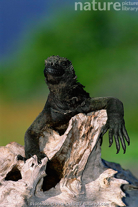 Marine iguana {Amblyrhynchus cristatus} on driftwood, Fernandina Is, Galapagos  ,  FEET,GALAPAGOS,IS,ISLANDS,ONE,PO,PORTRAITS,REPTILES,VERTICAL,LIZARDS, IGUANAS  ,  Pete Oxford