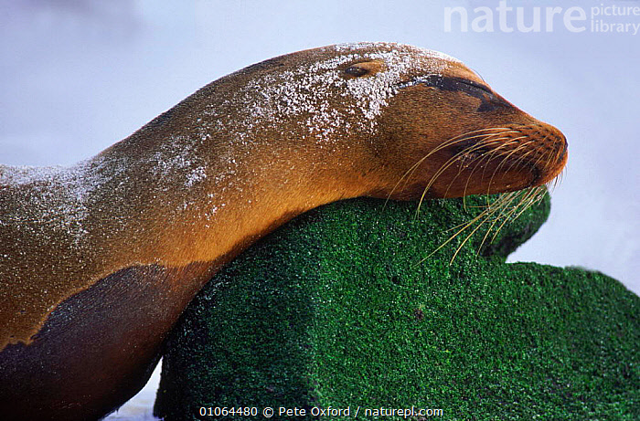 Galapagos sealion {Zalophus californianus wollebakei} Espanola (Hood) Island, Galapagos Islands, MAMMALS,OXFORD,PETER,HOOD,SOUTH AMERICA,ISLANDS,PO,ISLAND,ROCKS,SLEEPING,CUTE,ESPANOLA,RESTING,PINNIPEDS,ECUADOR,HORIZONTAL,PORTRAITS,SOUTH-AMERICA,CARNIVORES, Pete Oxford