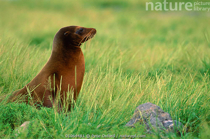 Galapagos sealion sitting in grass {Zalophus californianus wollebakei} South Plaza Is, Galapagos El Nino 1998, 1998,PAGE,EL,PINNIPEDS,INTERESTING,PO,PETER,MAMMALS,OXFORD,PLAZA,SOUTH AMERICA,ISLAND,PROFILE,SITTING,SOUTH,GRASS,HORIZONTAL,NINO,WEATHER,PLANTS,SOUTH-AMERICA,CARNIVORES, Pete Oxford