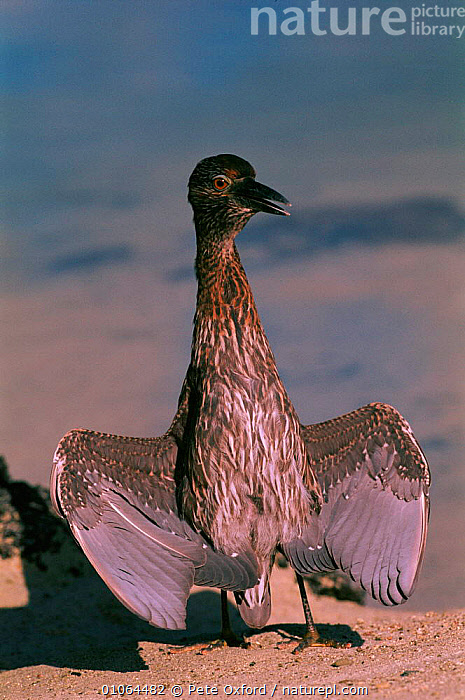 Juvenile yellow crowned night heron {Nyctanassa violacea} sunbathing, Tower/Genovesa Is, Galapagos, BEACHES, BIRDS, COASTS, FEATHERS, GALAPAGOS, HERONS, HUMOROUS, JUVENILE, PORTRAITS, VERTEBRATES, VERTICAL, WINGS,Concepts, Pete Oxford