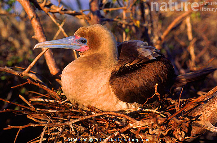 Red footed booby {Sula sula} on nest, Tower/Genovesa Island Galapagos Islands, Ecuador  Book page 72, TOWER/GENOVESA,OXFORD,PROFILE,NESTING,ECUADOR,PETER,BIRDS,HORIZONTAL,ISLAND,PO,SOUTH AMERICA,GALAPAGOS,ISLANDS,NESTING BEHAVIOUR,SEABIRDS,NESTS,REPRODUCTION, Pete Oxford
