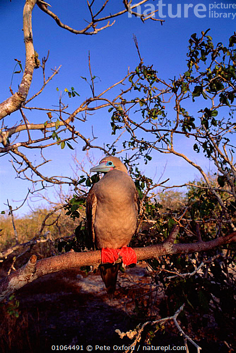 Red footed booby {Sula sula}, Tower (Genovesa) Island Galapagos  ,  BRANCH,SOUTH AMERICA,BIRDS,HUMOROUS,OXFORD,SEABIRDS,TOWER,TREES,BRANCHES,PORTRAITS,ISLAND,CUTE,FEET,ECUADOR,GENOVESA,PO,PETER,PERCHED,GALAPAGOS,CONCEPTS,PLANTS  ,  Pete Oxford