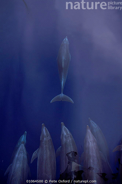 Bottle nosed dolphins {Tursiops truncatos} bow riding Galapagos Islands, Ecuador, BOATS,BOW,CETACEANS,DOLPHINS,FUN,GALAPAGOS,GROUPS,ISLANDS,MAMMALS,MARINE,OXFORD,PEOPLE,PETER,PO,REFLECTIONS,RIDING,SEA,SOUTH AMERICA,VERTICAL, Mammals,Catalogue1, Pete Oxford