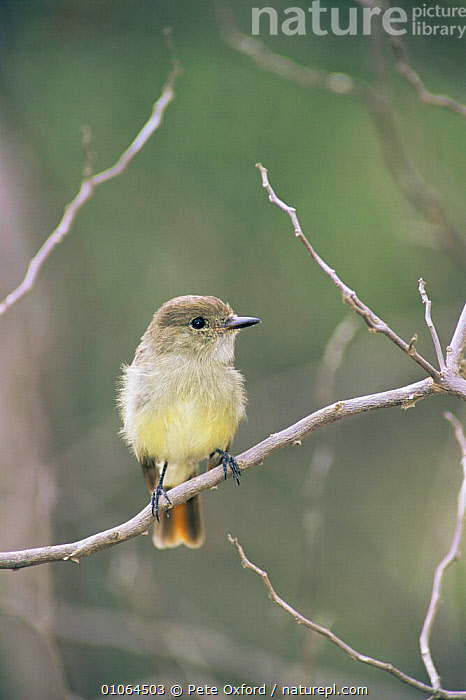 Galapagos finch {Myiarchus magnirostris} perching on branch, Isabela Island, Galapagos.  ,  BIRDS,BRANCHES,FLYCATCHERS,GALAPAGOS,PASSERINES,PORTRAITS,SOUTH AMERICA,TREES,VERTEBRATES,VERTICAL,YELLOW,Plants,SOUTH-AMERICA  ,  Pete Oxford