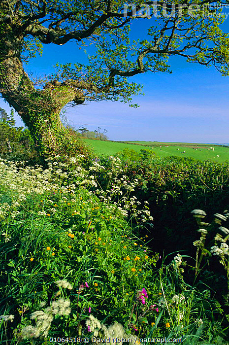 Ancient hedgerow with mixed wild flowers, including cow parsley, Devon, UK, HEDGEROWS,PLANTS,VERTICAL,EUROPE,LANDSCAPES,MIXED SPECIES,COUNTRYSIDE,HEDGE,ENGLAND, David Noton