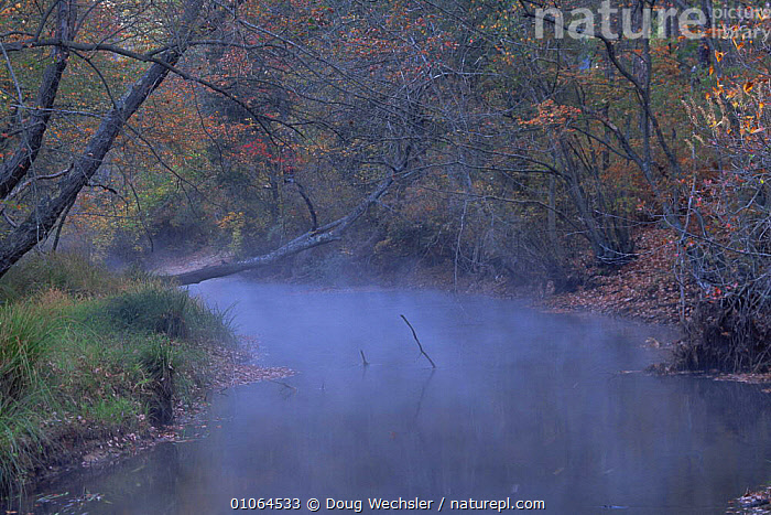 A temperature inversion forms a mist on Pine Barrens stream in autumn. New Jersey, USA, ATMOSPHERIC,AUTUMN,HORIZONTAL,LANDSCAPES,LEAVES,MIST,NORTH AMERICA,RIVERS,TREES,USA,WOODLANDS,Plants, Doug Wechsler