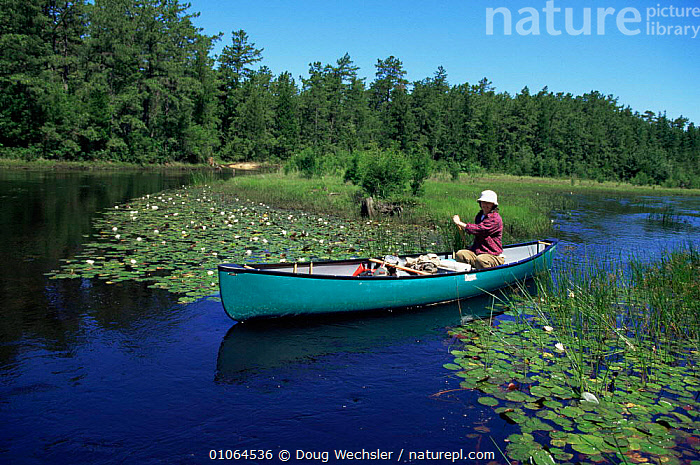 Canoeing amongst water lilies, along Oseego River, Pine Barrens New Jersey, USA, AQUATIC,BOATS,canoes,FLOWERS,FRESHWATER,LANDSCAPES,LEISURE,NORTH AMERICA,OUTDOOR PURSUITS,RIVERS,SPORT,SUMMER,Transport,TREES,USA,WATER,WETLANDS,Plants,OPEN-BOATS, BOATS, BOATS, Doug Wechsler