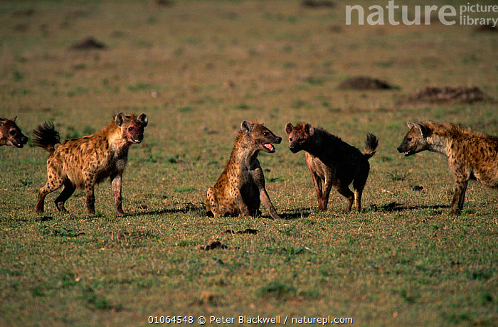Spotted hyena {Crocuta crocuta} being attacked by others in the group, Masai Mara, Kenya, AGGRESSION,CARNIVORES,DOMINANCE,EAST AFRICA,FIGHTING,FOUR,GROUPS,HYAENAS,MAMMALS,SOCIAL BEHAVIOUR,submissive,VERTEBRATES,Africa,Concepts, Peter Blackwell