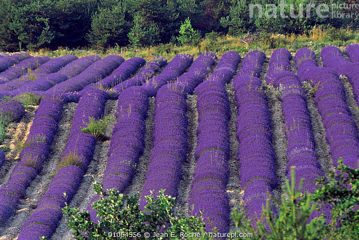 Lavender field in flower, Col St John, Buech, Provence, France, ABSTRACT,AGRICULTURE,COLOURFUL,CROPS,EUROPE,FLOWERS,FRANCE,PLANTS,PURPLE,LAVANDULA, Jean E. Roche