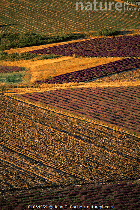 Mosaic of Lavender fields, Baronnies, Provence, France, ABSTRACT,AGRICULTURE,CROPS,EUROPE,FARMLAND,FLOWERS,FRANCE,LANDSCAPES,PATTERNS,VERTICAL,LAVANDULA, Jean E. Roche
