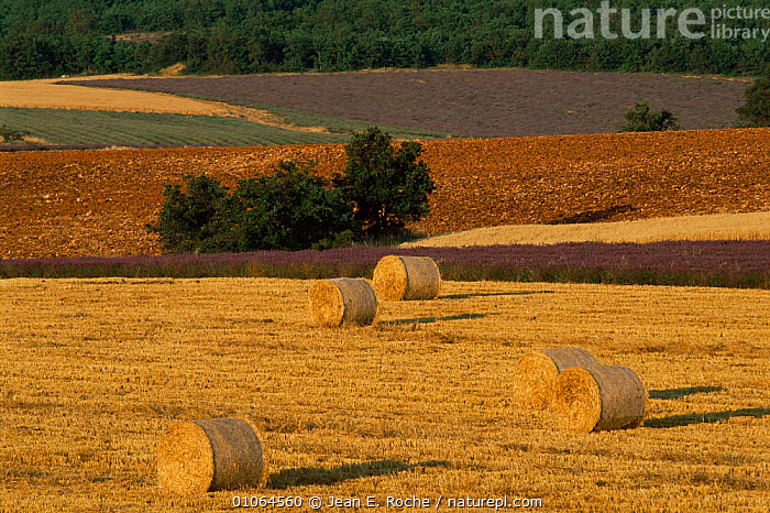 Straw bales and lavender field landscape, Sault Region, Provence, France  ,  AGRICULTURE,CROPS,EUROPE,FARMLAND,FLOWERS,FRANCE,LANDSCAPES,PATTERNS,stubble  ,  Jean E. Roche