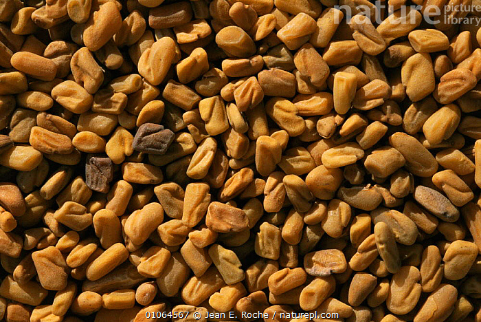 Fenugreek {Trigonella fenu-graecum} seeds, one of the most ancient medicinal plant known, France  ,  CROPS,EUROPE,FRANCE,HARVESTING,HERBS,medicine,PLANTS,SEEDS  ,  Jean E. Roche